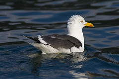 albatross(0.0), animal(1.0), charadriiformes(1.0), wing(1.0), water(1.0), fauna(1.0), reflection(1.0), great black-backed gull(1.0), european herring gull(1.0), seaduck(1.0), beak(1.0), bird(1.0), seabird(1.0), wildlife(1.0),