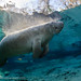 Manatee_In_Light_18