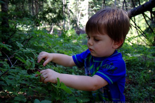 picking huckleberries in our campsite    MG 9935