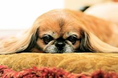 dog breed, animal, dog, pet, mammal, pekingese,