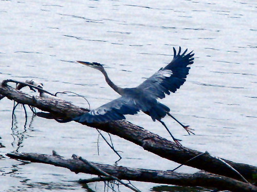 Flying Heron by paynehollow