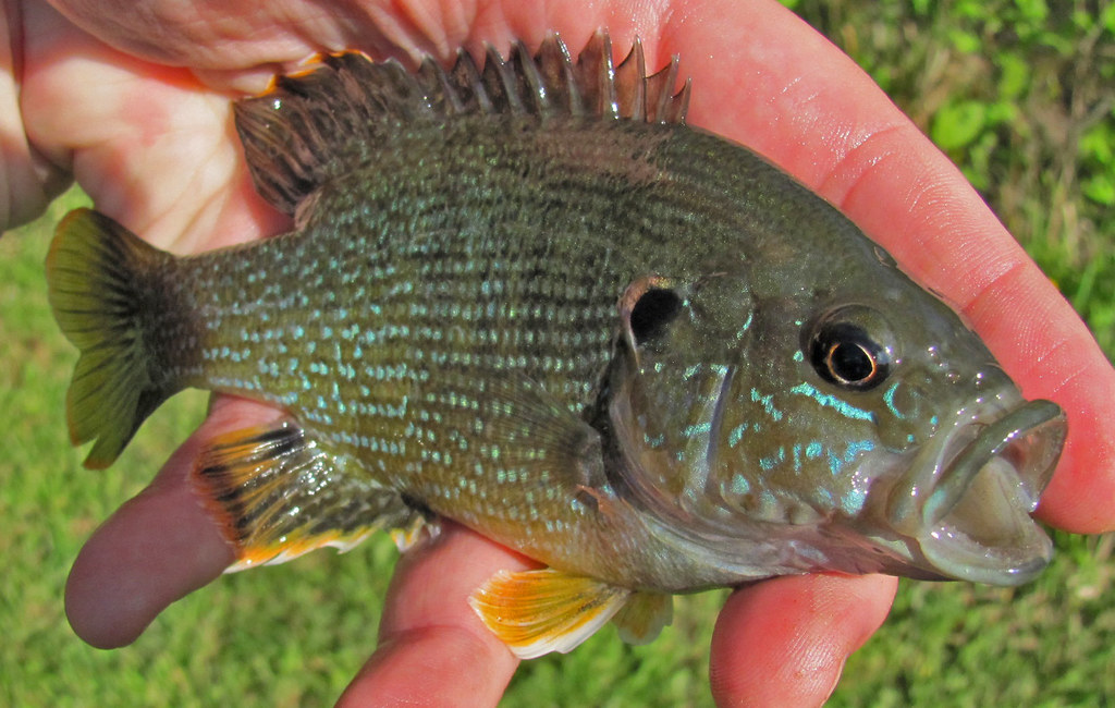 River mud the beautiful green sunfish for Maryland state fish