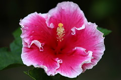 47- Pink Dragon
