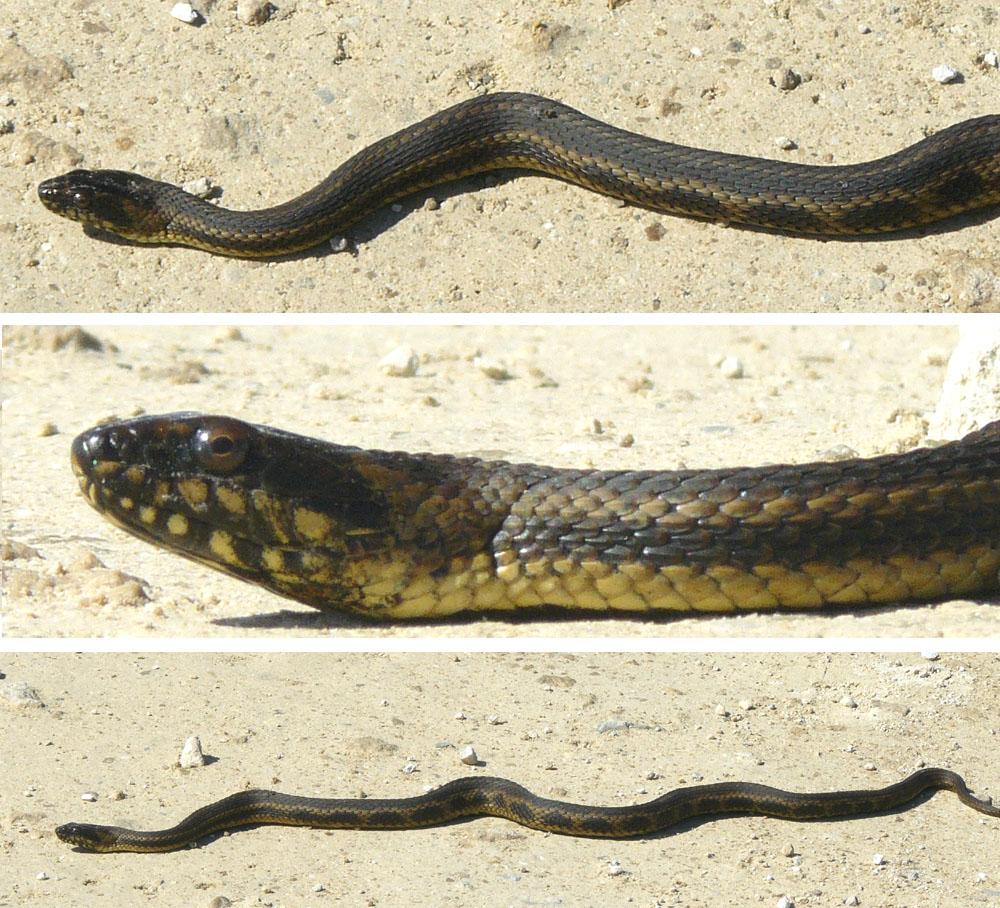 N Snakes Gulf Salt Marsh Snake,...
