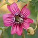 Californian Mallow - Photo (c) Philip Bouchard, some rights reserved (CC BY-NC-ND)