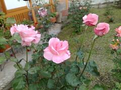 rosa wichuraiana(1.0), annual plant(1.0), garden roses(1.0), rosa 㗠centifolia(1.0), floribunda(1.0), flower(1.0), plant(1.0), petal(1.0),