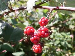 Red blackberry berries