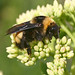 Bumblebees - Photo (c) sankax, some rights reserved (CC BY-NC)