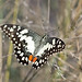 Citrus Swallowtail - Photo (c) Michael Jefferies, some rights reserved (CC BY-NC)