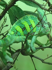 animal, branch, green lizard, reptile, lizard, green, fauna, african chameleon, scaled reptile, chameleon,