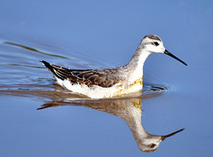 animal migration(0.0), red backed sandpiper(0.0), european herring gull(0.0), sandpiper(0.0), bird migration(0.0), animal(1.0), charadriiformes(1.0), wing(1.0), fauna(1.0), shorebird(1.0), beak(1.0), bird(1.0), wildlife(1.0),