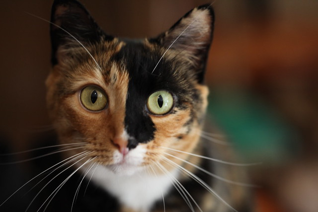 beautiful calico cats a gallery on flickr