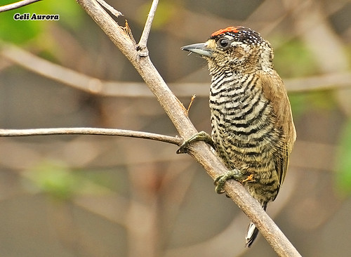 Picumnus cirratus ( Macho do Pica-pau-anão-barrado ) - White-barred Piculet - 290