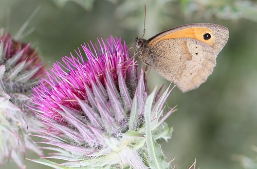 Meadow Brown butterfly (Maniola jurtina) near the River Cam