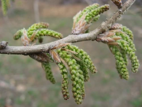 Quercus catkins