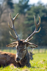 Red deer in Wollaton Park