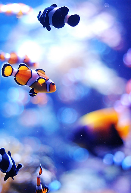 Are there blue clown fish for Blue clown fish