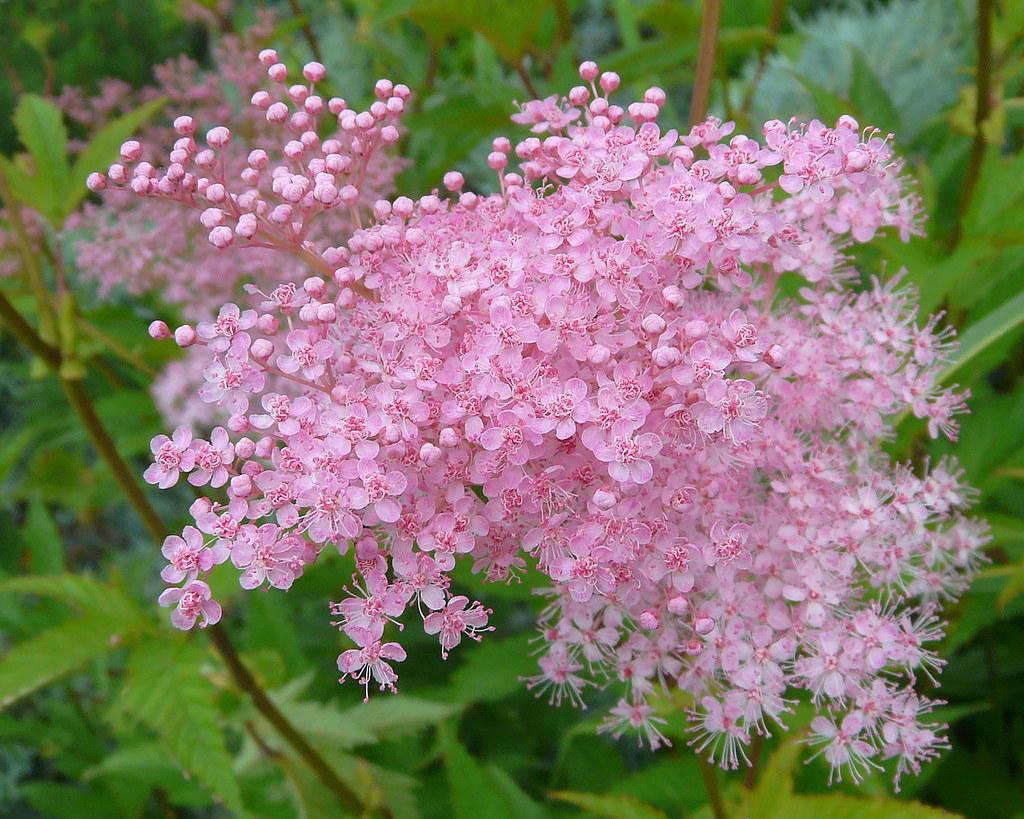 Shade Tolerant Flowering Shrubs: SHADE LOVING PLANTS FLOWERS