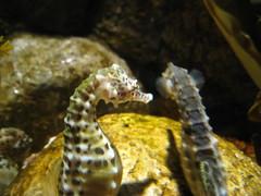 seahorse, animal, yellow, macro photography, fauna, close-up, wildlife,
