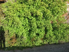 evergreen(0.0), shrub(0.0), flower(0.0), tree(0.0), hedge(0.0), moss(0.0), annual plant(1.0), subshrub(1.0), herb(1.0), green(1.0), groundcover(1.0),