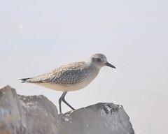 red backed sandpiper(0.0), redshank(0.0), gull(0.0), animal(1.0), charadriiformes(1.0), fauna(1.0), close-up(1.0), calidrid(1.0), sandpiper(1.0), beak(1.0), bird(1.0), seabird(1.0), wildlife(1.0),