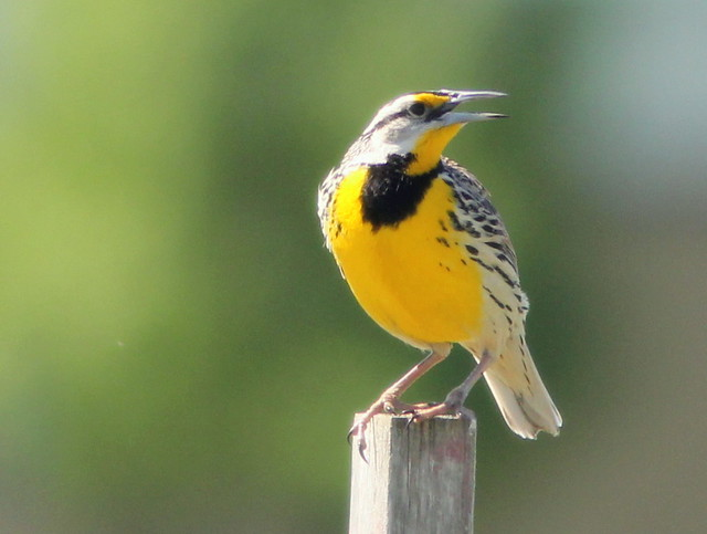 Eastern Meadowlark 20110522
