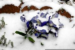 frozen flowers    MG 6526
