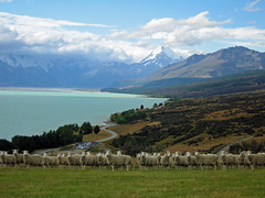 Mt Cook and Sheep