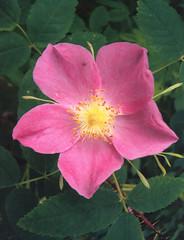shrub(0.0), rosa 㗠centifolia(0.0), floribunda(0.0), garden roses(1.0), flower(1.0), rosa gallica(1.0), rosa rubiginosa(1.0), rosa canina(1.0), flora(1.0), rosa acicularis(1.0), rosa chinensis(1.0), rosa rugosa(1.0), petal(1.0),