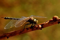 locust(0.0), arthropod(1.0), animal(1.0), damselfly(1.0), dragonfly(1.0), dragonflies and damseflies(1.0), branch(1.0), nature(1.0), invertebrate(1.0), macro photography(1.0), fauna(1.0), close-up(1.0), net winged insects(1.0), plant stem(1.0),