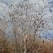 Small photo of Alnus incana canopy
