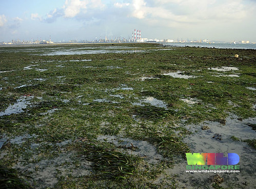 Seagrass meadows of Cyrene overlooking Jurong Island