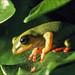 Treefrog by Foto Martien