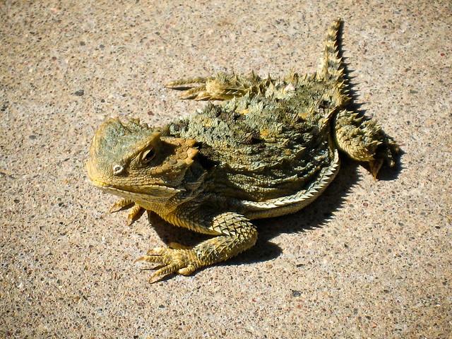 Desert Horned Lizard | Flickr - Photo Sharing!