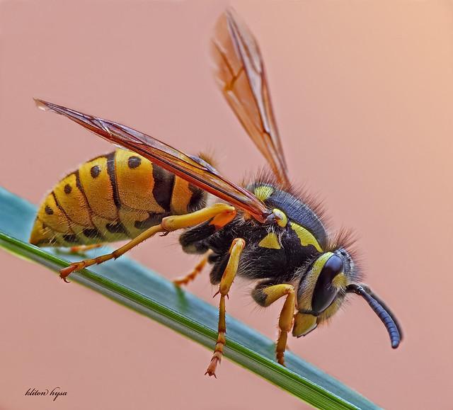 queen-wasp | Flickr - Photo Sharing!Queen Wasp