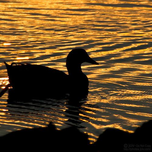 sunset water silhouette duck pond mallard ripples explore487 file:name=dsc03942