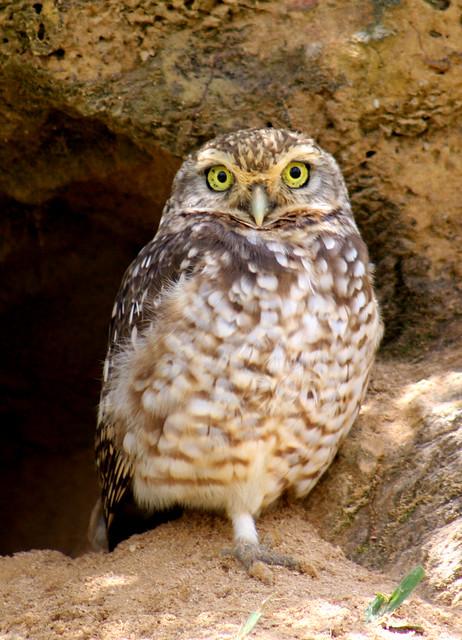 Coruja-buraqueira, Burrowing Owl (Athene cunicularia)