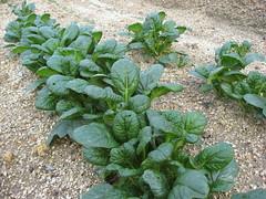 annual plant, vegetable, komatsuna, leaf vegetable, herb,