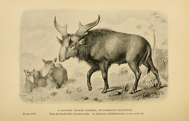 A Gigantic Hoofed Mammal, Sivatheium giganteum