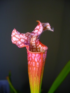 Pitcher Plant (Sarracenia 'Dana's Delight')