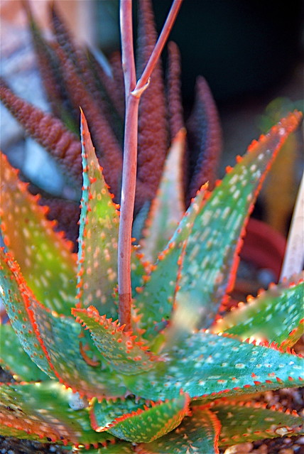 Aloe 'Luz de Luna' (from Kelly Griffin)