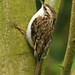 Treecreeper - Photo (c) Dean Morley, some rights reserved (CC BY-ND)