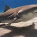 lemon shark 5