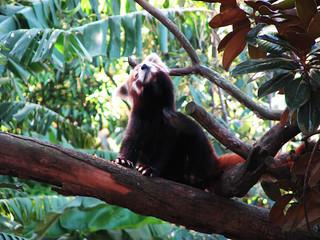 Red Panda 의 이미지. sydney nsw corrie tarongazoo