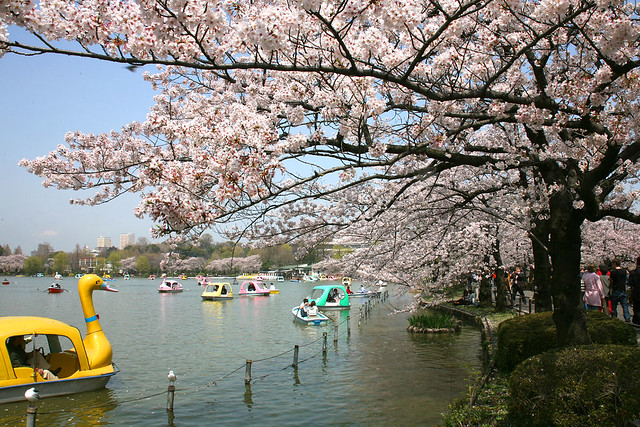 Cherry Blossom - 68