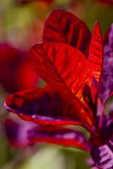 Sunlight through red leaves