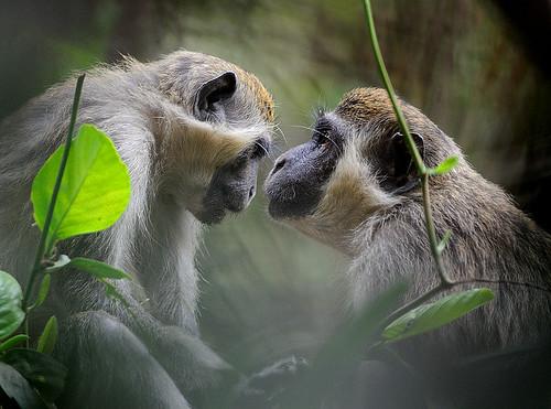 monkey gambia naturesfinest apina callithrixmonkey specanimal mywinners cercopithecusaethiopssabaeus