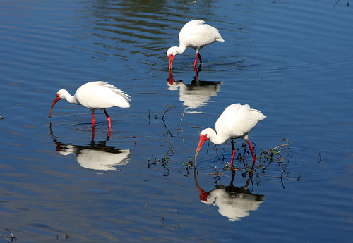 Three White Ibis Reflecting!