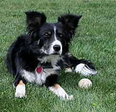 puppy(0.0), karelian bear dog(0.0), border collie(1.0), dog breed(1.0), animal(1.0), dog(1.0), pet(1.0), mammal(1.0), miniature australian shepherd(1.0),