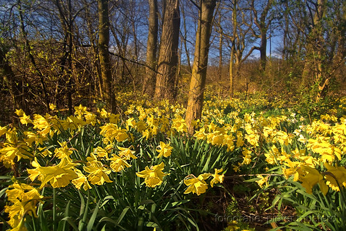holland nature yellow forest canon spring woods raw estate nederland thenetherlands daffodil getty lente geel gettyimages narcis landgoed meerenbosch canoneos400d pietermusterd